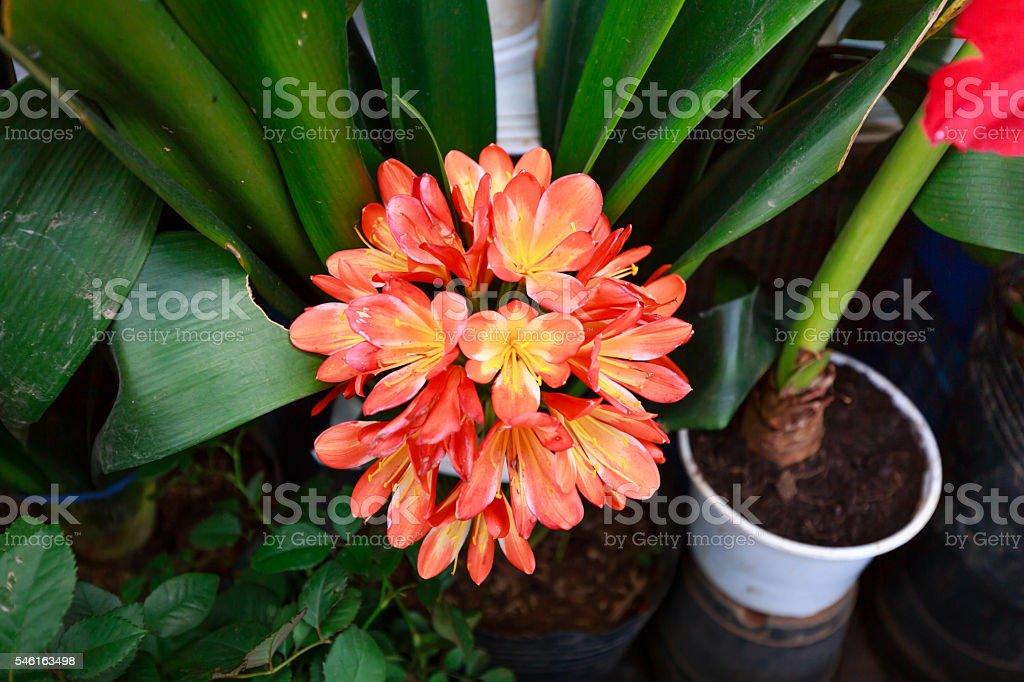 Closeup of Kaffir lily flowers stock photo