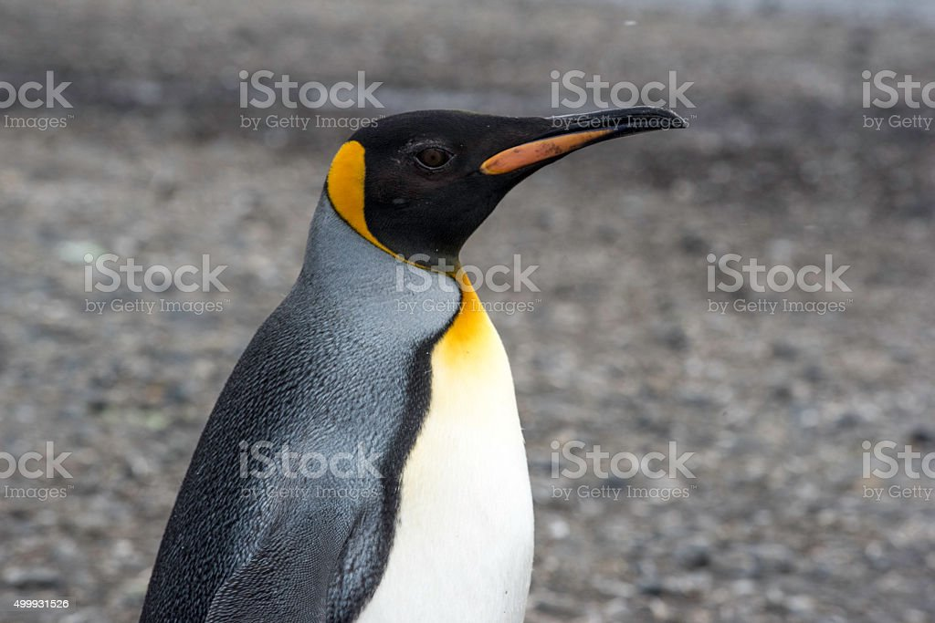Close-Up of King Penguin stock photo