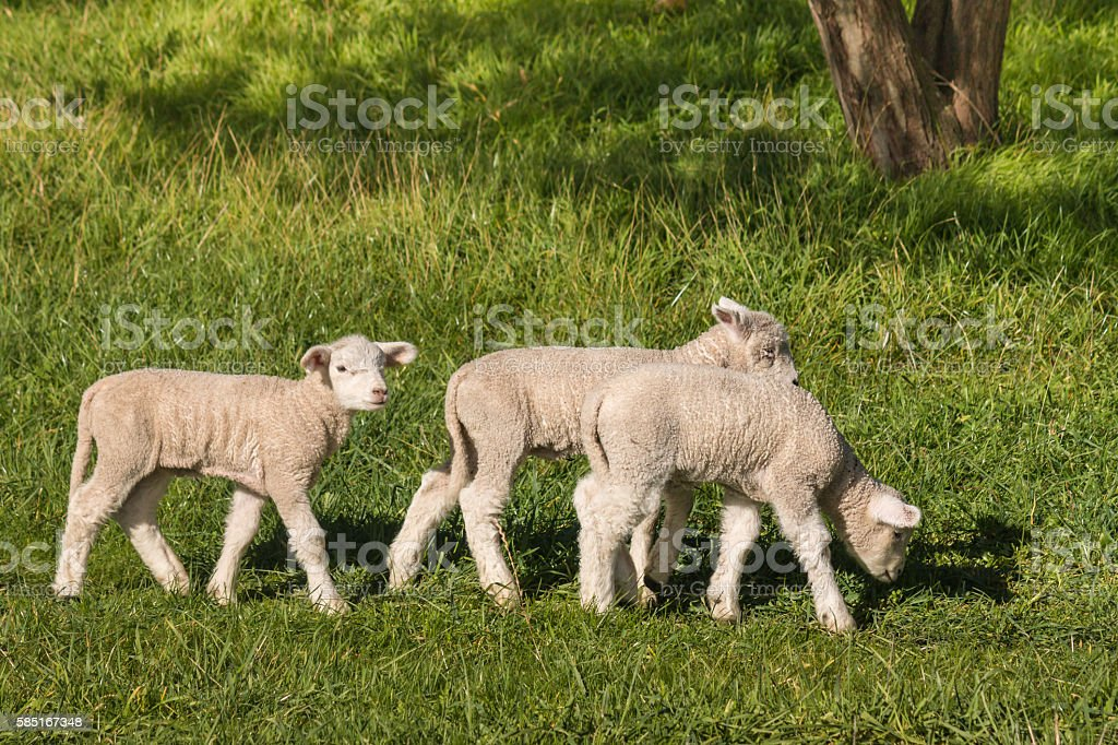 closeup of lambs grazing on spring meadow stock photo