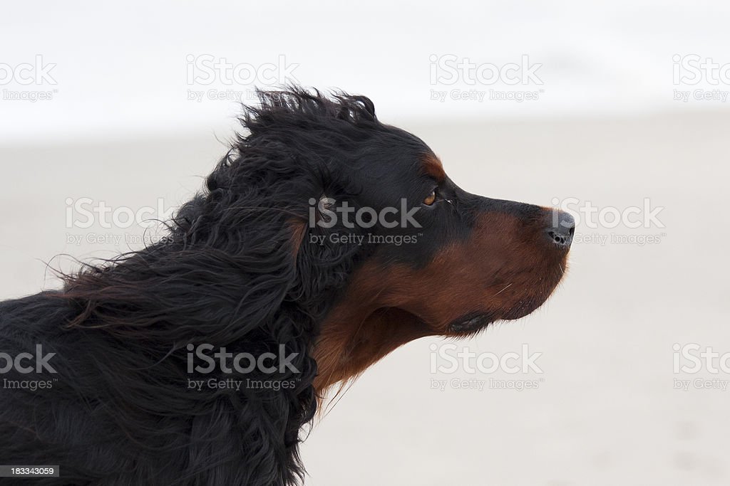 Close-up of large long-haired dog on the beach royalty-free stock photo