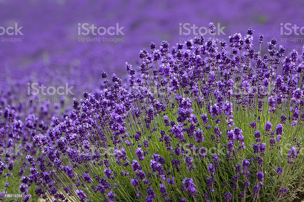 Close-up of Lavender background in Hokkaido Japan stock photo