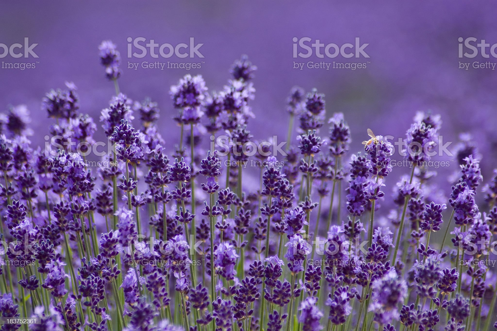 Close-up of Lavender background in Hokkaido Japan royalty-free stock photo