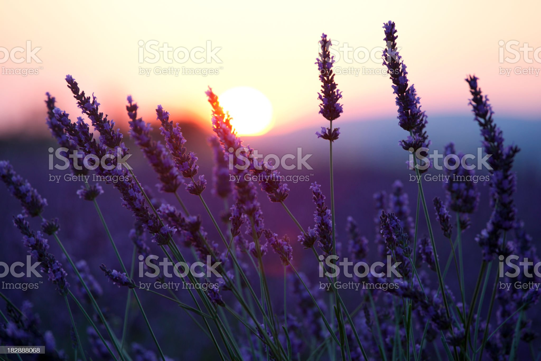 Close-up of lavender flowers in front of the sunset royalty-free stock photo