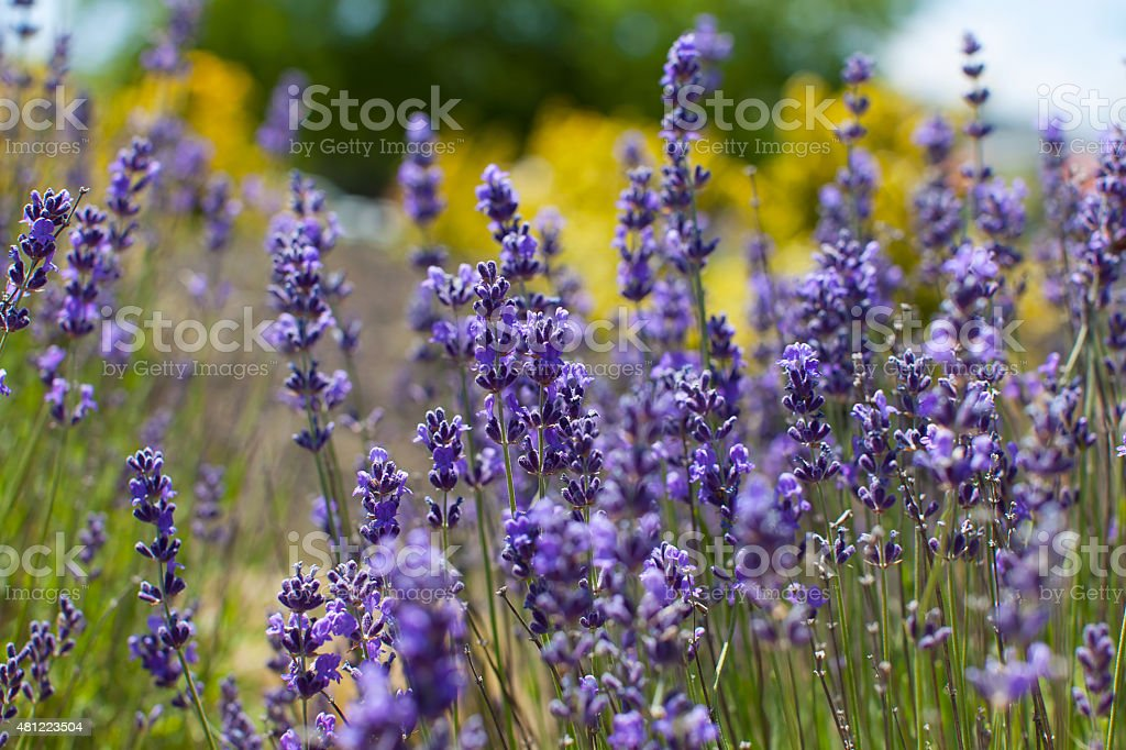 close-up of lavender stock photo