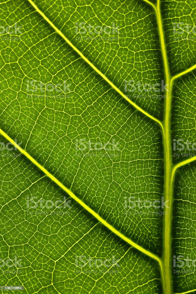 CLose-up of Leaf Veins stock photo