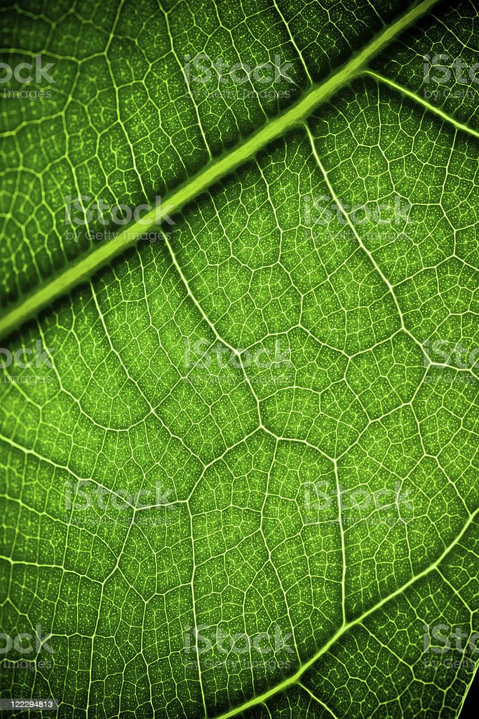 Close-up of leaf veins royalty-free stock photo