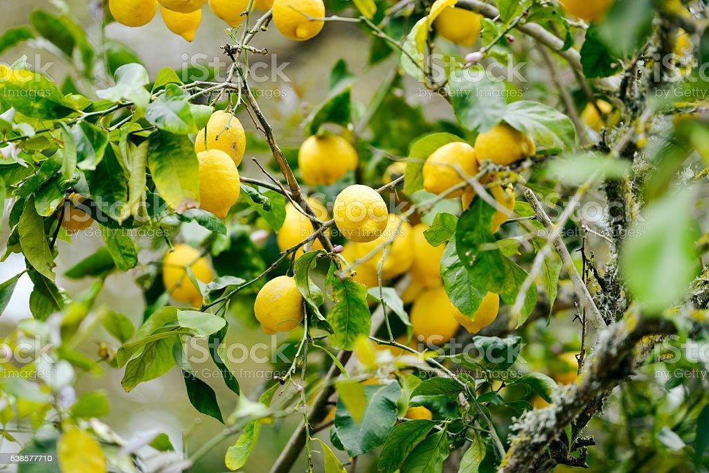 Close-up of lemons in lemon tree in spring stock photo