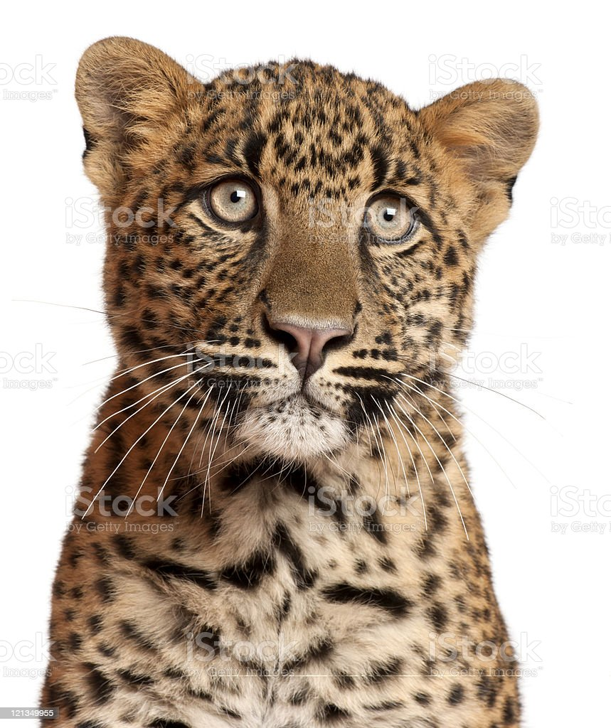 Close-up of Leopard, Panthera pardus, six months old, white background. royalty-free stock photo