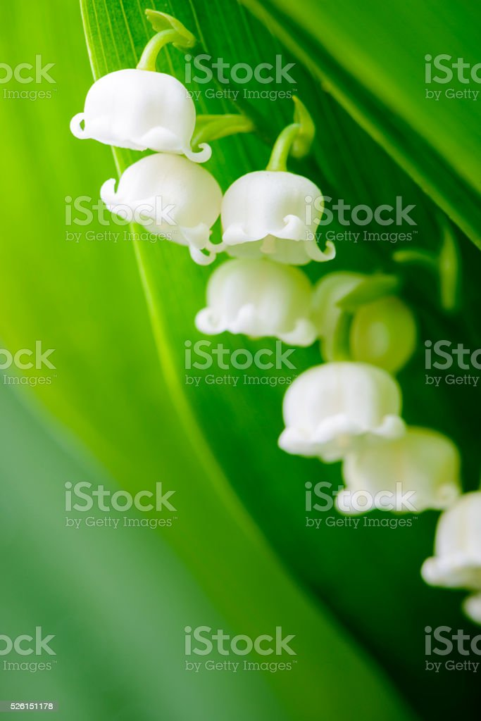 Close-up of lily of the valley flowers stock photo