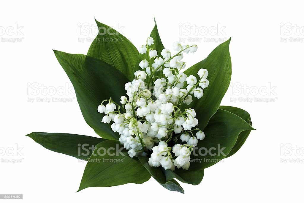 Close-up of lily of the valley isolated on white background royalty-free stock photo