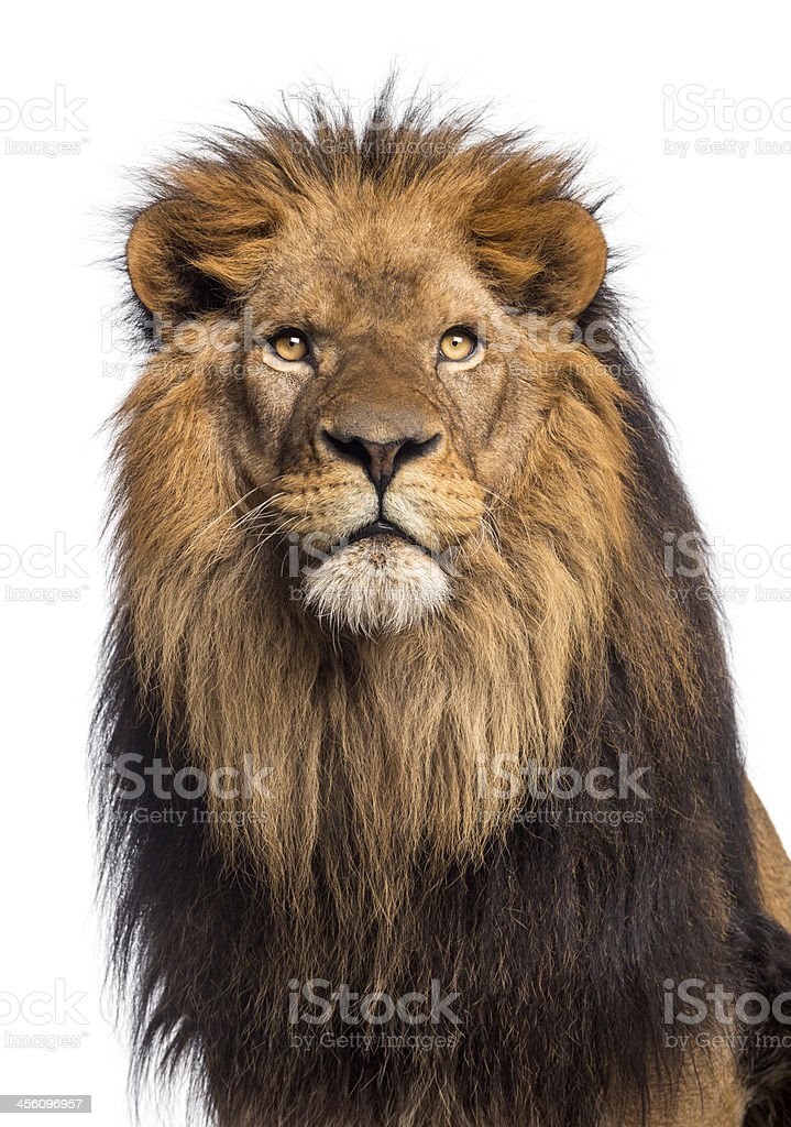 Close-up of Lion looking up, Panthera Leo, 10 years old stock photo