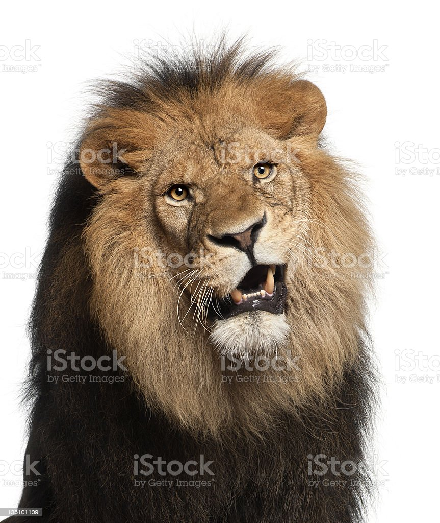 Close-up of lion, Panthera leo, 8 years old royalty-free stock photo