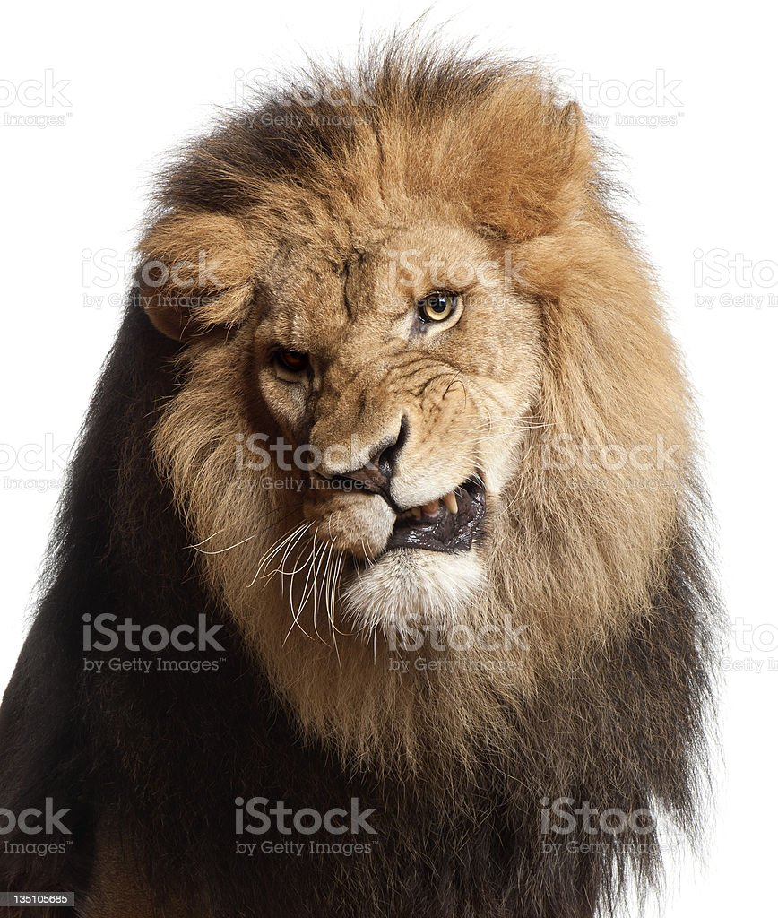 Close-up of lion snarling, Panthera leo, 8 years old royalty-free stock photo