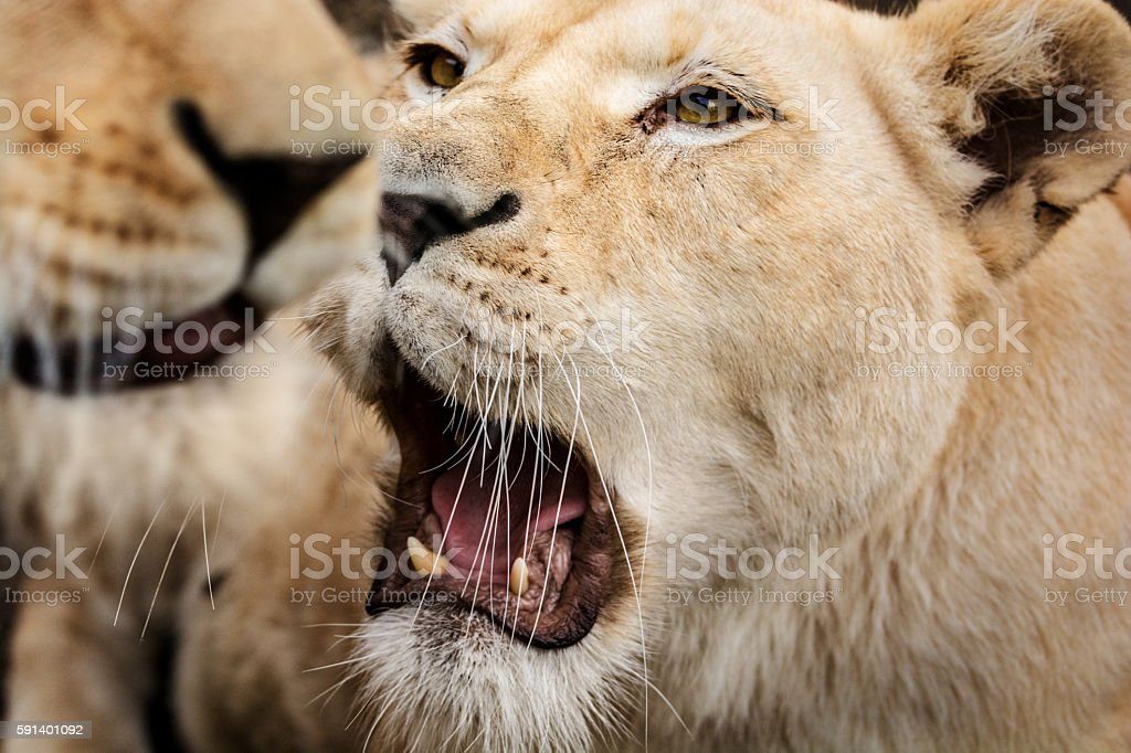 Close-up of lioness in pack stock photo