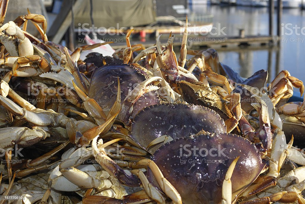 Close-up of Live Dungeness Crabs Ready for Market stock photo