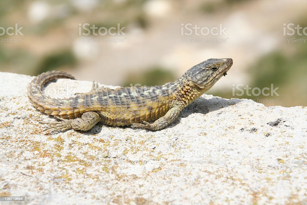 close-up of lizard royalty-free stock photo