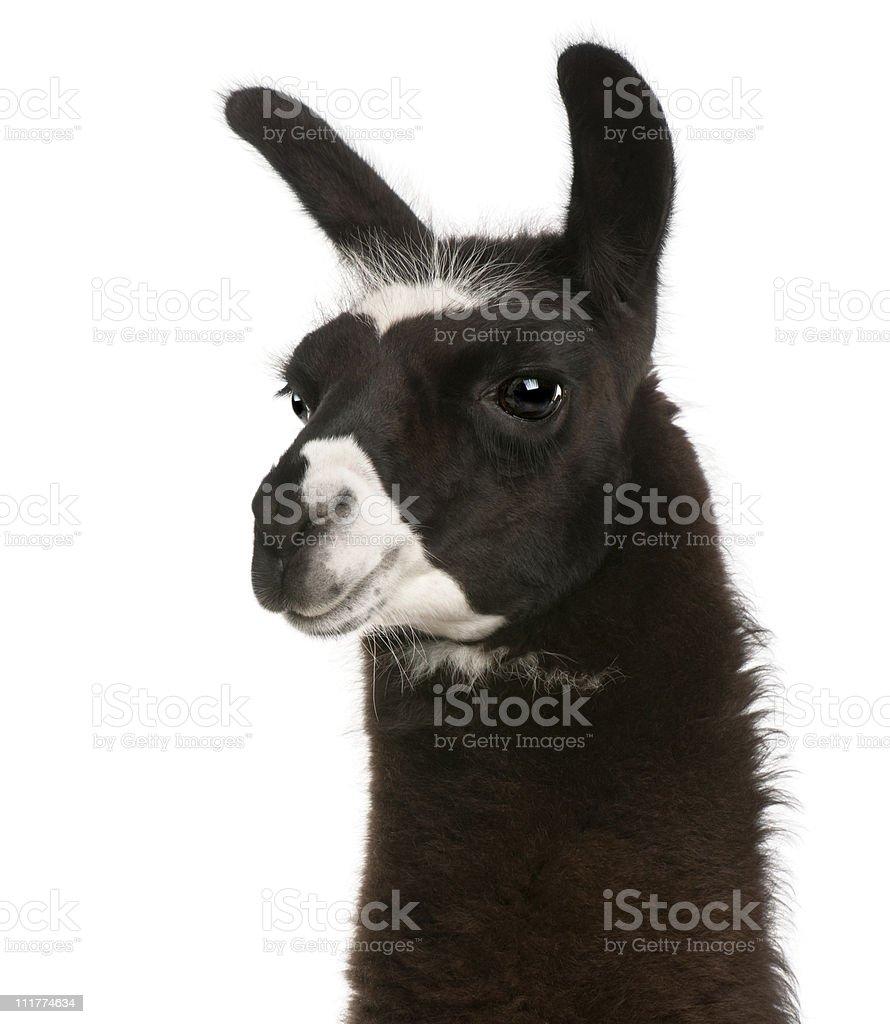Close-up of Llama, Lama glama, white background. stock photo