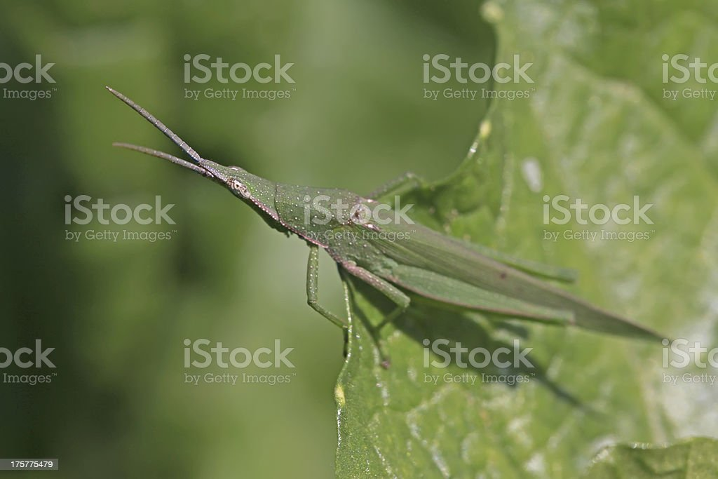 closeup of locust in the wild royalty-free stock photo