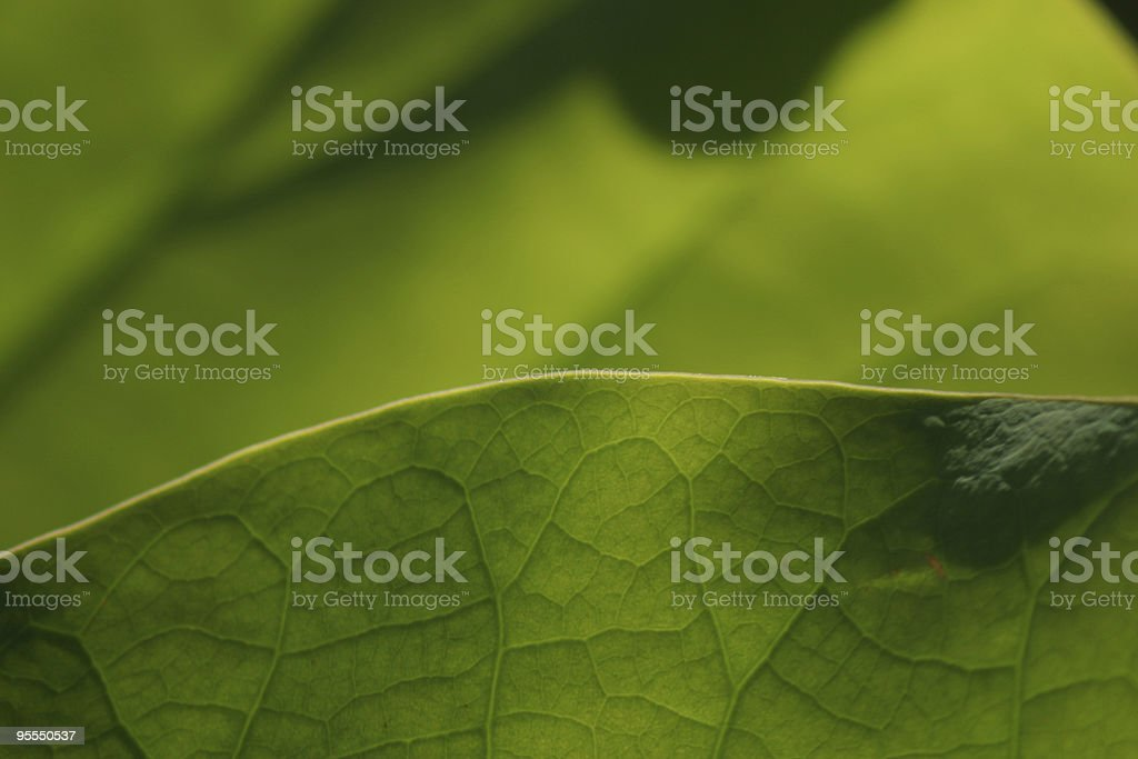 Close-up of lotus leaf royalty-free stock photo