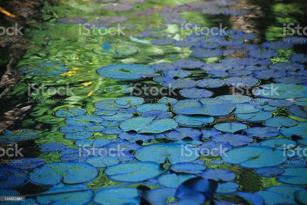 Close-up of lotus leaves floating on a pond stock photo