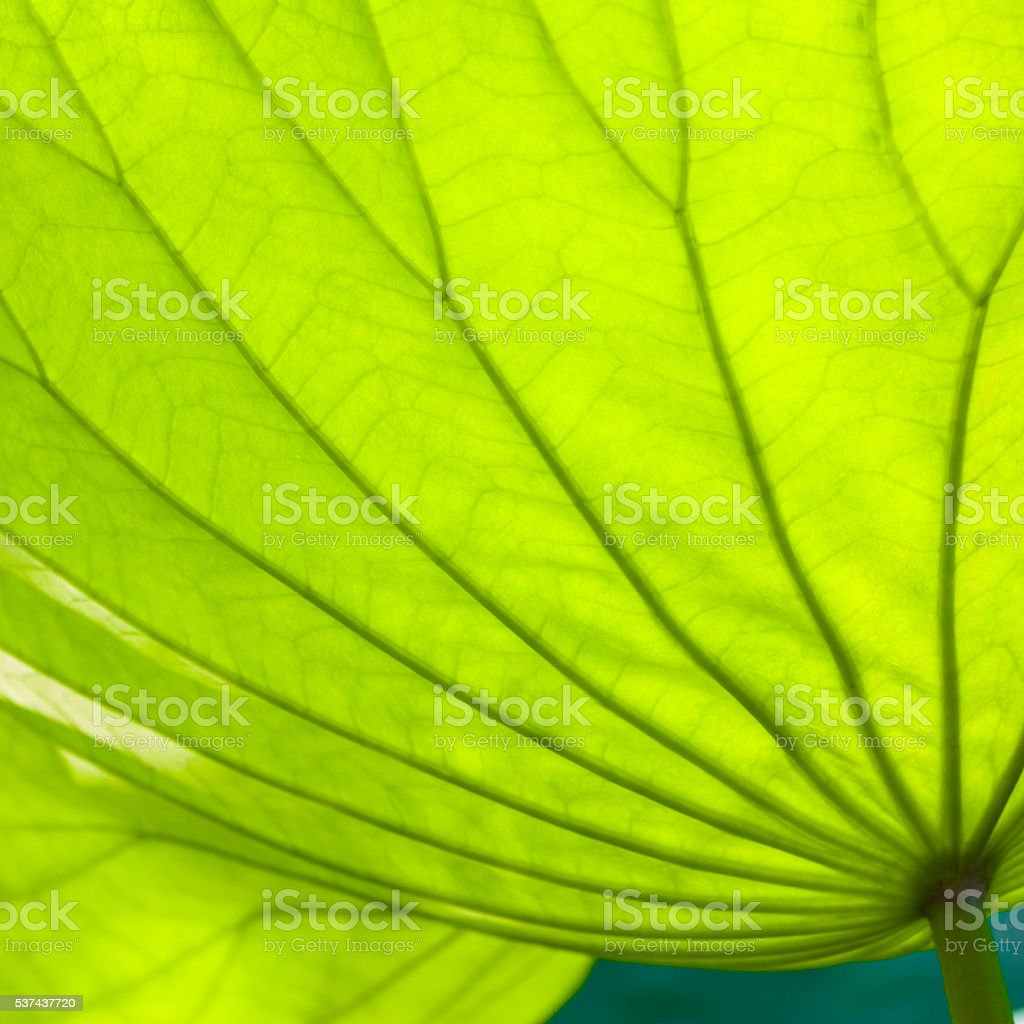 Close-up of lotus leaves stock photo