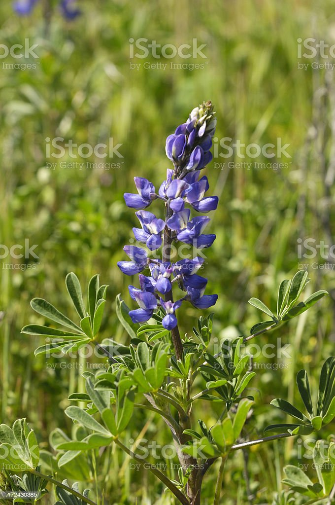 Close-up of Lupine Wildflowers royalty-free stock photo