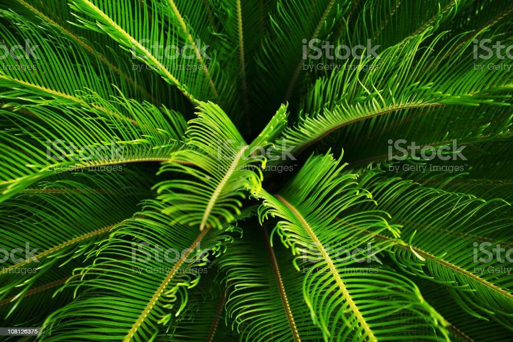 Close-up of Lush and Green Cycad Plant Bush stock photo