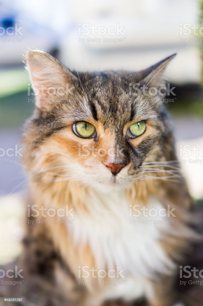 Closeup of maine coon cat outside in sunlight looking stock photo