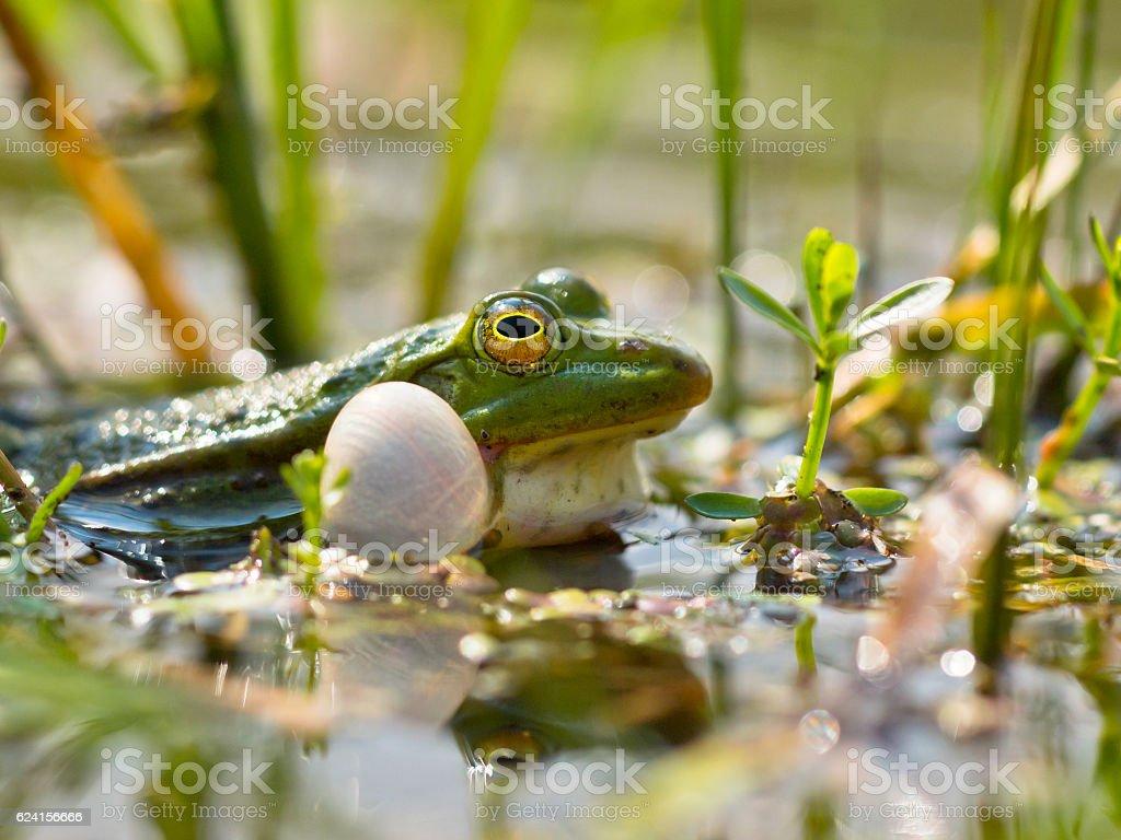 Closeup of male edible frog stock photo