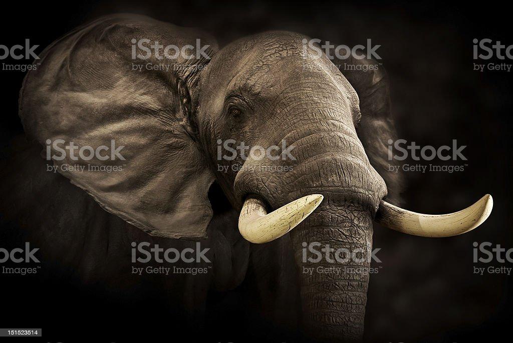 Close-up of Male Elephant stock photo
