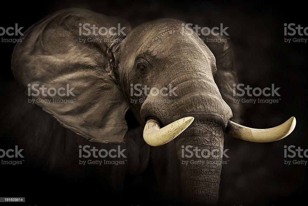 Close-up of Male Elephant stock photo