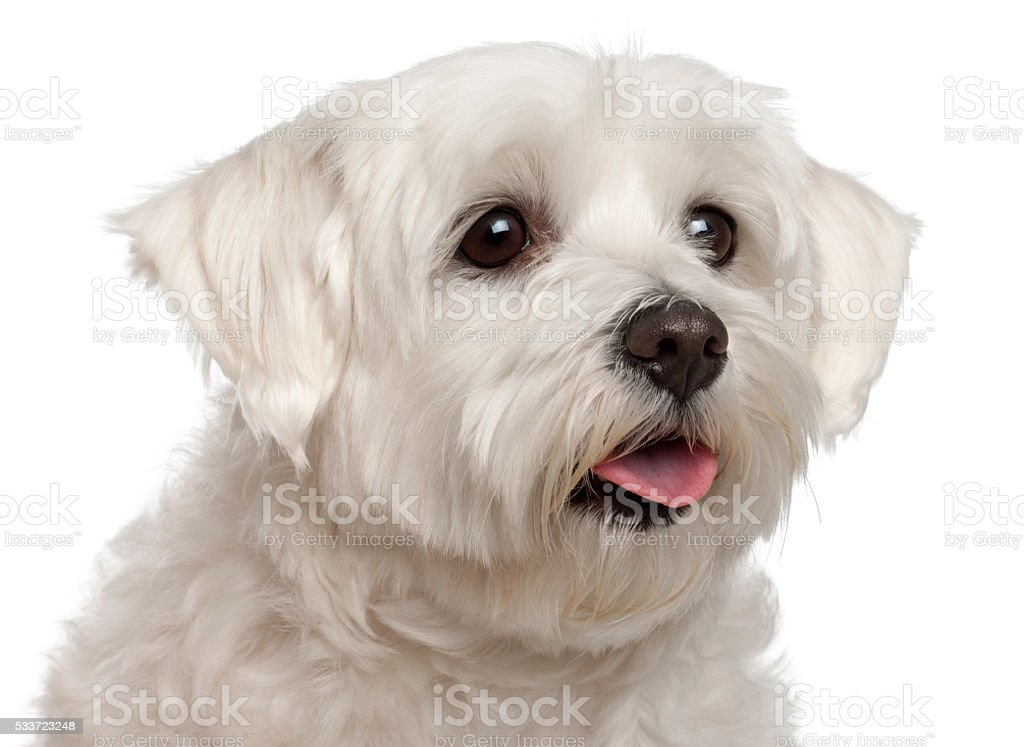 Close-up of Maltese panting, 2 years old, stock photo