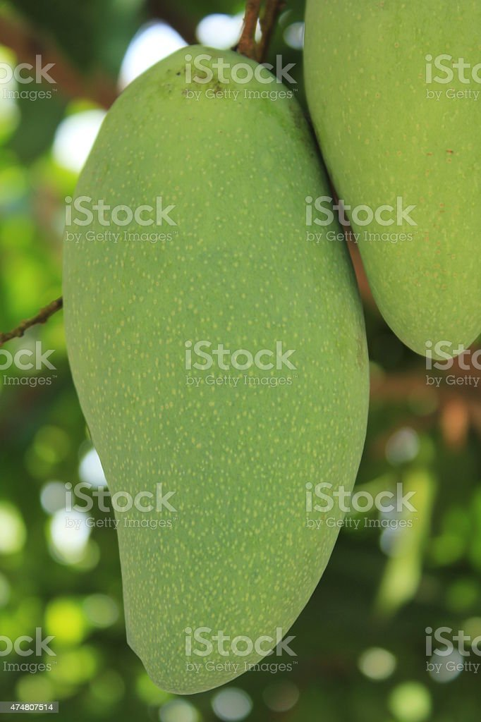 Close-up of mango on tree stock photo