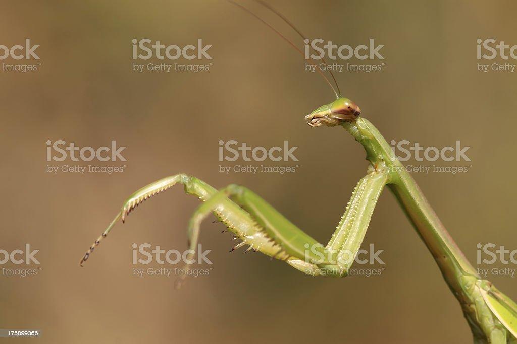 closeup of mantis royalty-free stock photo