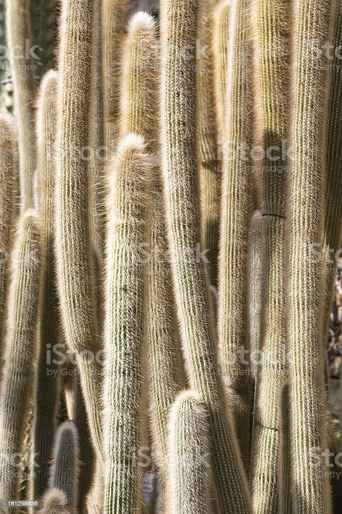 Closeup of many big cactuses in a botanical garden royalty-free stock photo