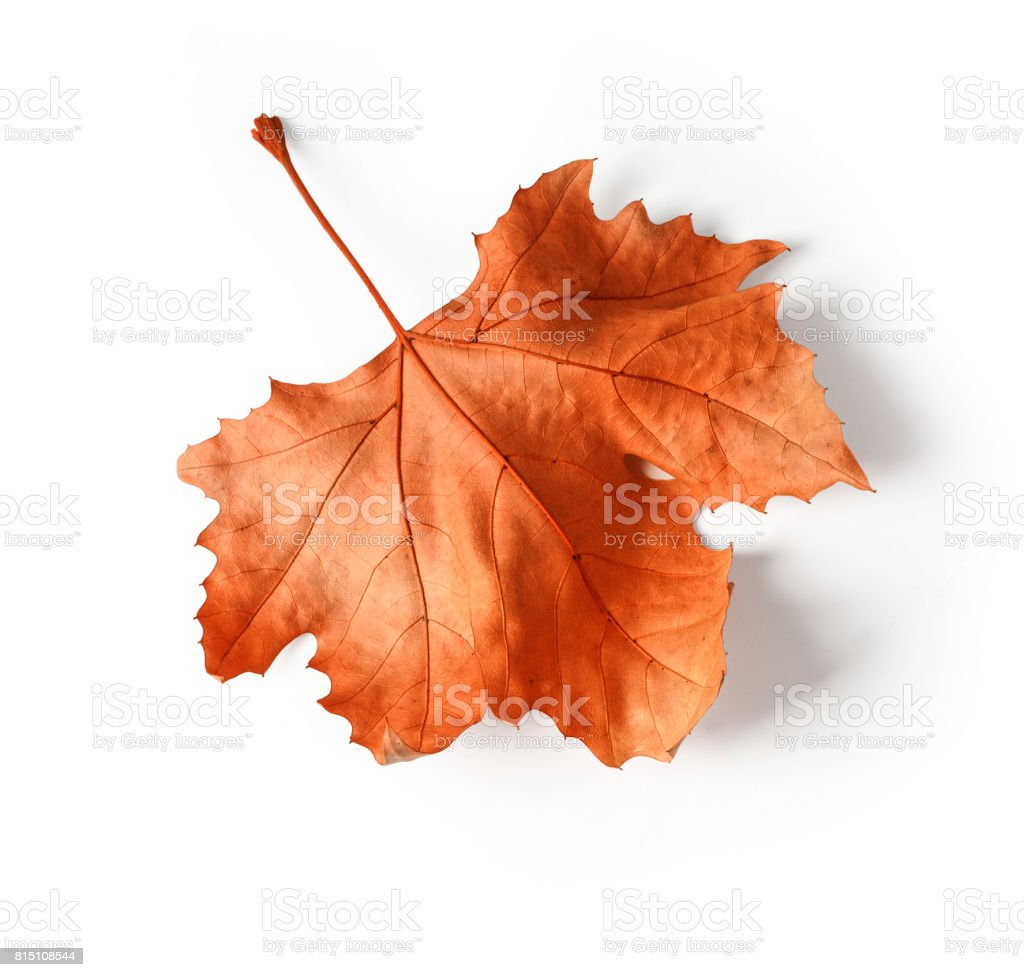 Close-up of maple autumn leaf on white stock photo