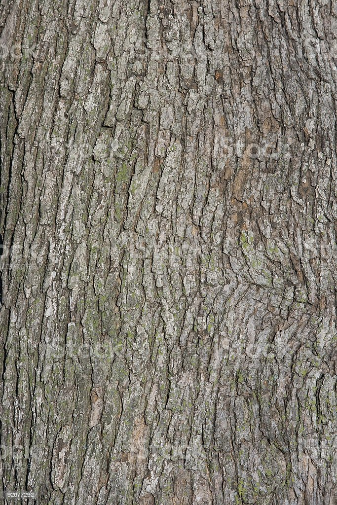 Closeup of Maple Bark Texture Background royalty-free stock photo