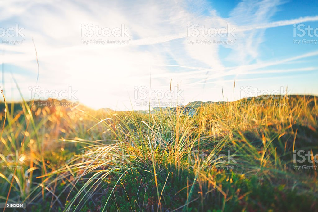 Close-up of marram grass against the blue sky stock photo