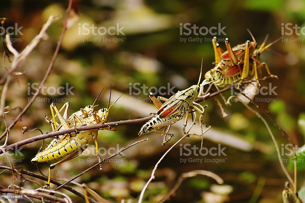 Close-up of Mating Lubber Grasshoppers in Southern Florida stock photo