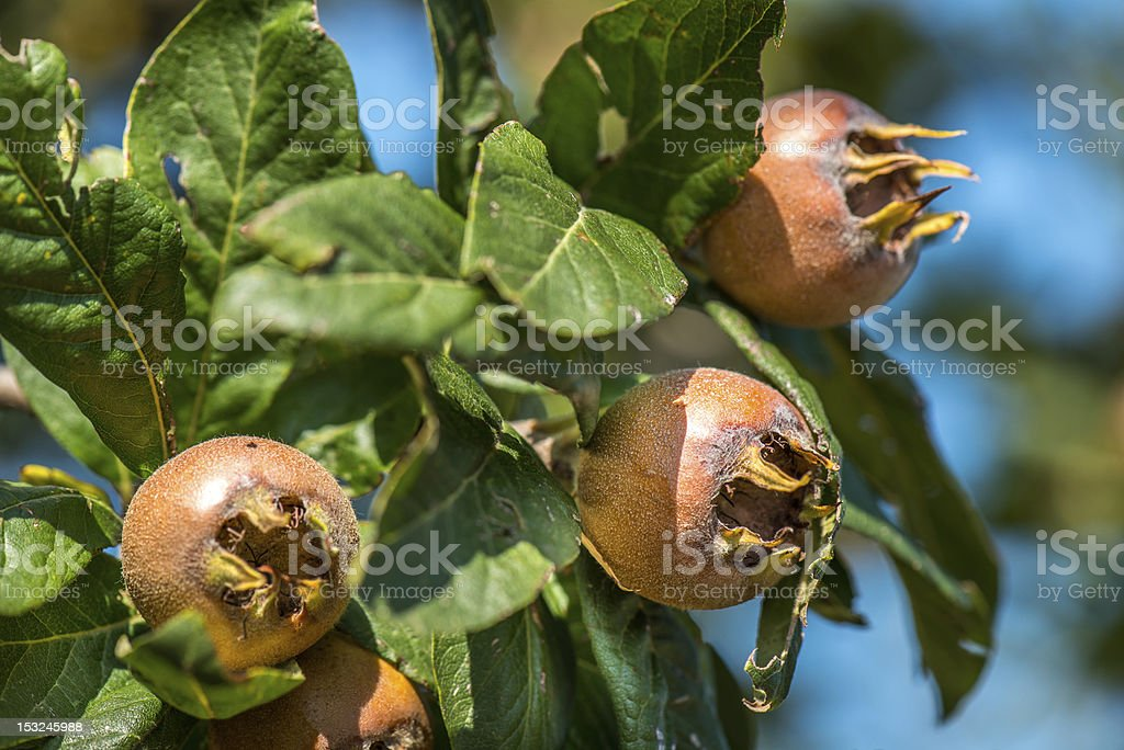 Close-up of mature medlar fruits on the branches stock photo