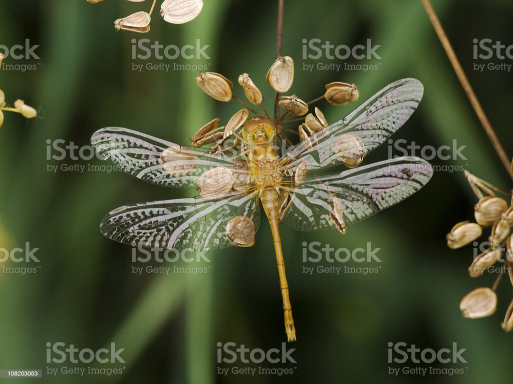 Close-up of Meadowhawk Dragonfly royalty-free stock photo