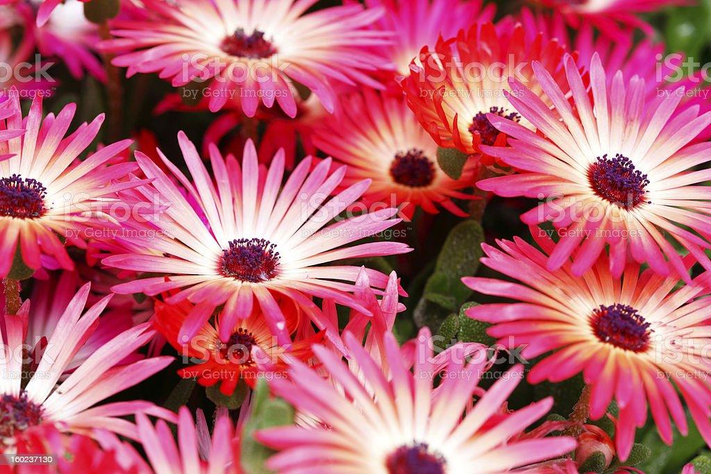 Nahaufnahme von mesembryanthemum Blume Lizenzfreies stock-foto