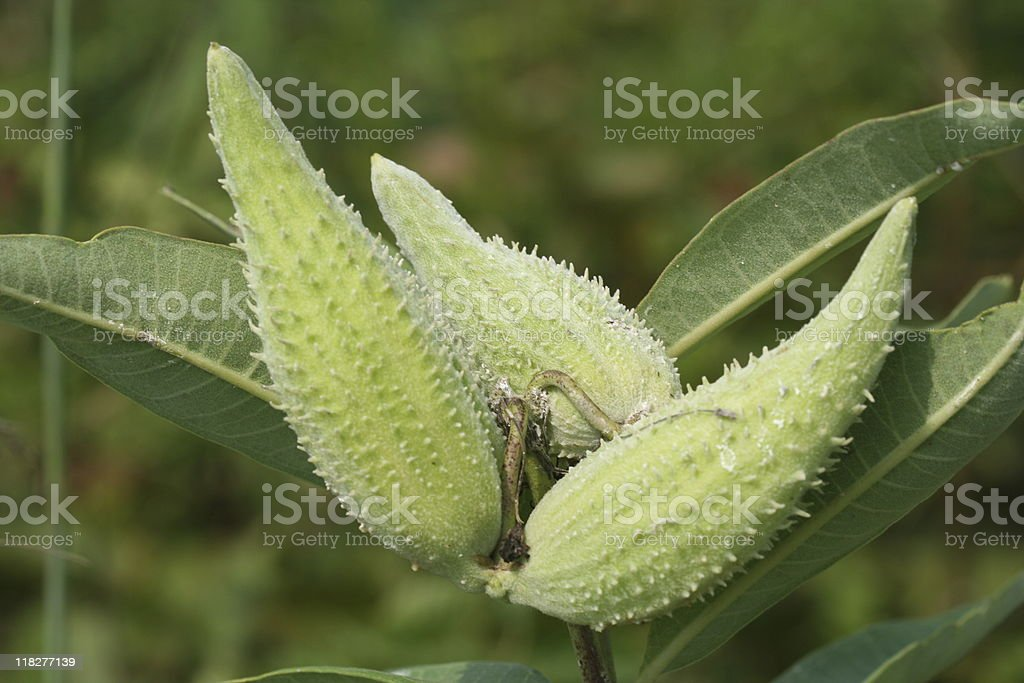 Close-up of milkweed pods and leaves stock photo