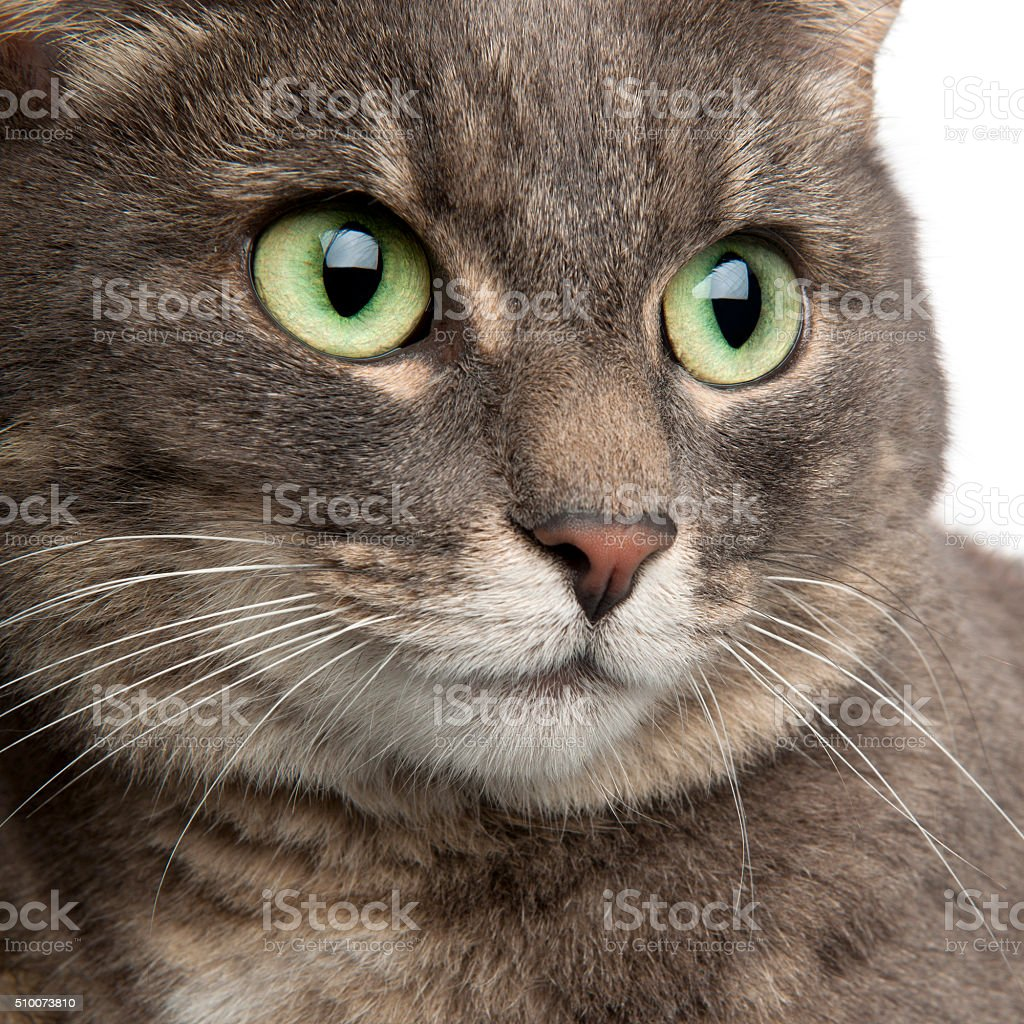 Closeup Mixed Breed Cat 3 Years Old stock photo