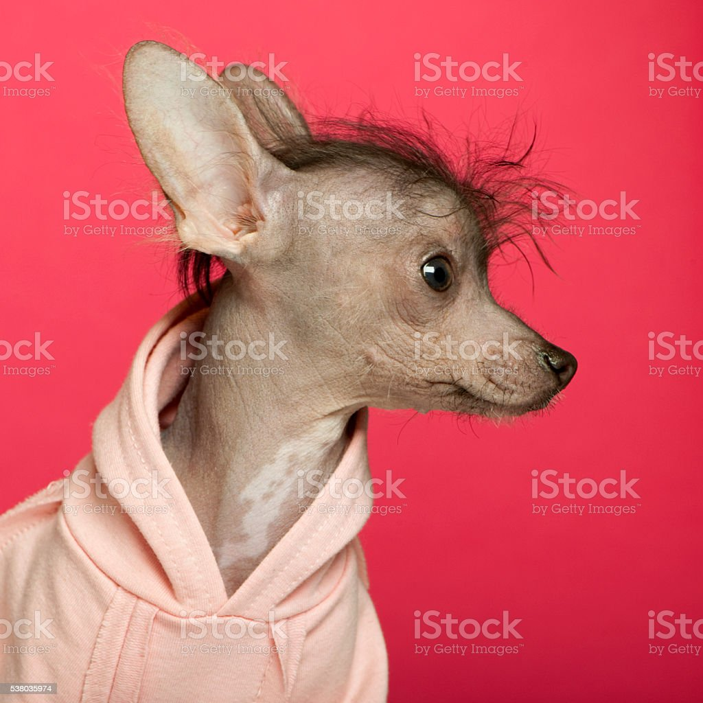 Close-up of Mixed breed puppy in front of pink background stock photo