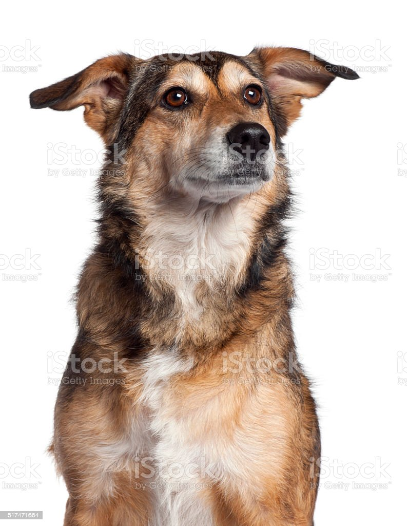 Close-up of Mixed-breed dog, 4 years old, stock photo