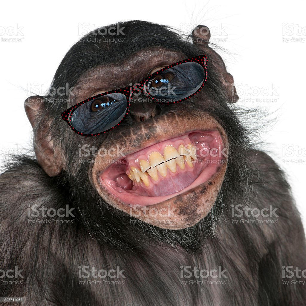 Close-up of Mixed-Breed monkey between Chimpanzee and Bonobo smiling stock photo
