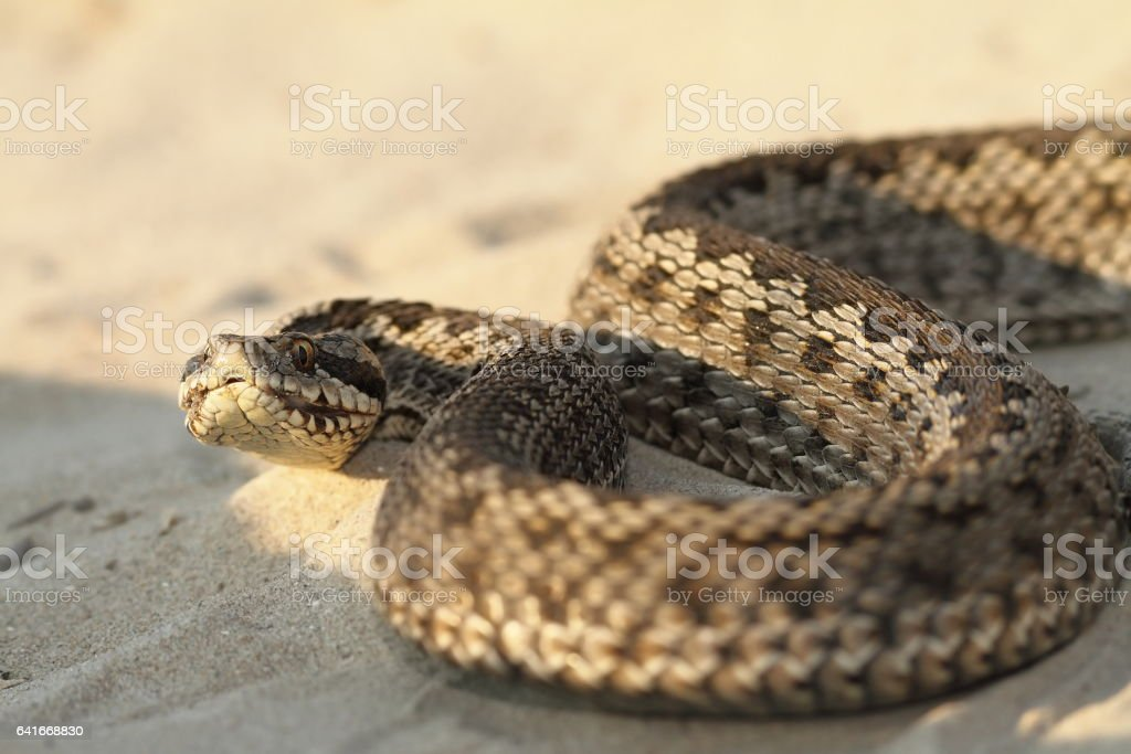 closeup of moldavian meadow viper stock photo