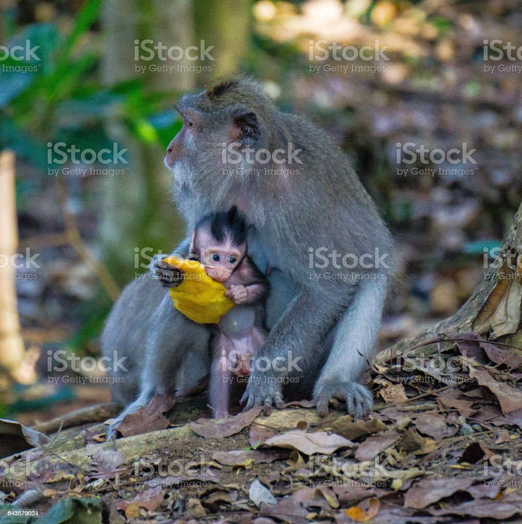 Closeup of Mom and baby monkey eating a mango in Bali, Indonesia. stock photo