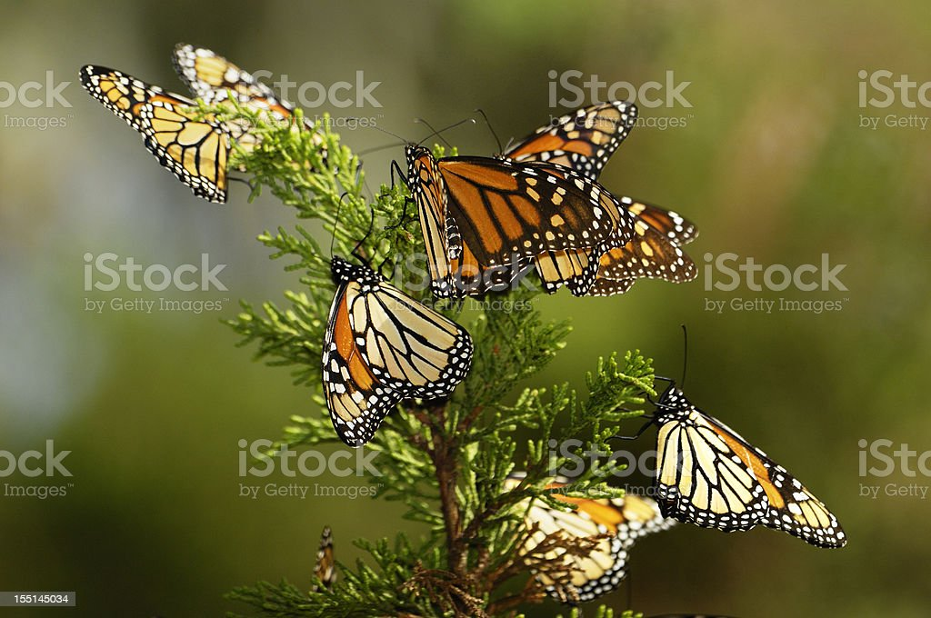 Close-up of Monarch Butterflies on Branch royalty-free stock photo